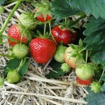 Top Tips on Squeezing the Most out of Strawberry Season